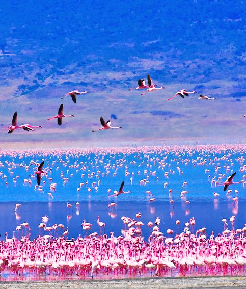 Flamingos on Lake Nakuru,Kenya.
