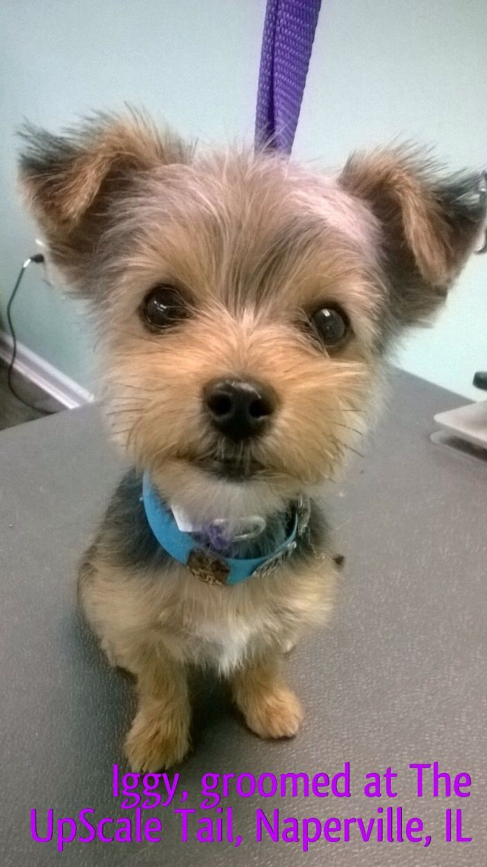 46 best grooming images on pinterest dog grooming business dog groomed at the upscale tail pet grooming salon naperville il theupscaletail solutioingenieria Choice Image