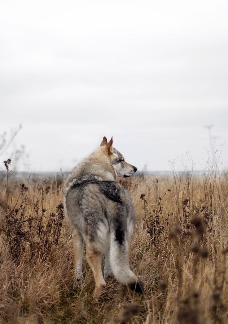 Altai. #wolfdog #theweekoninstagram #nature_perfect #befree #wildandfree #visualfolk #visualsoflife #stayandwander #wekeepmoments #love #livefolk #folkscenery #folkvibe #bestwoof #teamcanon #igmasters #moodynature #dogsofinstagram #nature_perfection #agameoftones #travelstoke #passionpassport #createcommune #trendingnow #createscenery #dogsthathike #ig_captures #adventurethatislife #nomadlife #wildlife_seekers