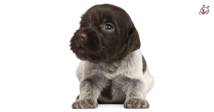 Wirehaired Pointing Griffon Puppies For Sale Puppies Puppy Breeds