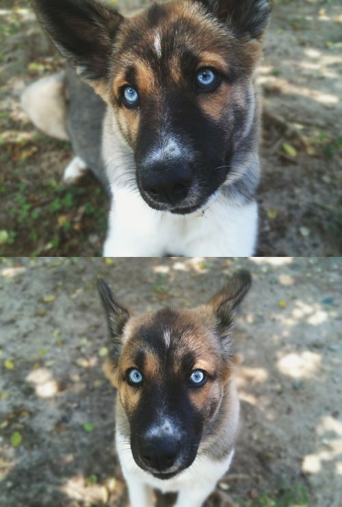 5 month old blue eyed german shepherd. Looks like Wiley mixed with Weslyn. Wow.