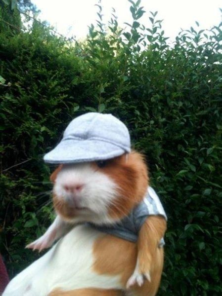 This nerd guinea pig. | The 40 Most WTF Animal Pics Of 2013