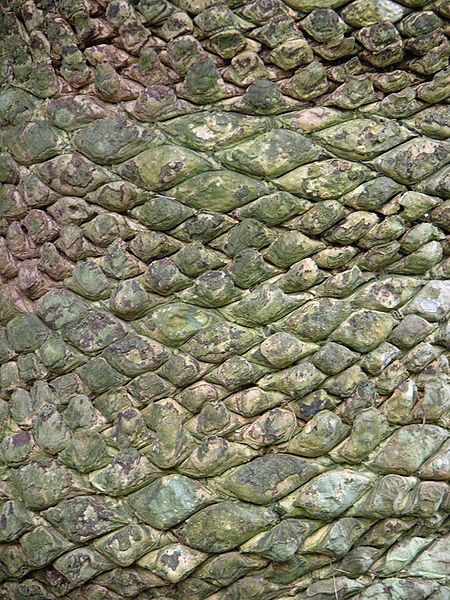 Bark Of Cycas Rumphii Sago Palm Trees Pinterest