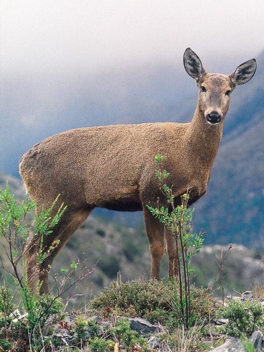 HUEMUL (CIERVO AMERICANO) autóctono de la Patagonia