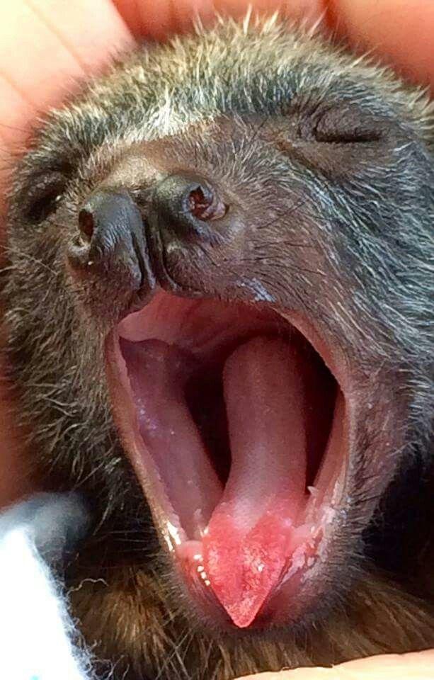 Baby bat (flying fox) YAWN -- photo by Battie Blue