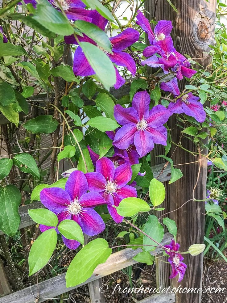 These tips on growing Clematis are the BEST! They tell you everything you need to know about pruning, fertilizing and caring for Clematis. I need some vines to cover the fence in my backyard and these ones with the purple and pink flowers are beautiful! Definitely pinning!!