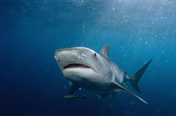 Scary Sharks | Scary Shark Pictures