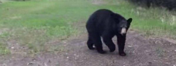 Dos hombres filman seis minutos de vídeo perseguidos por un oso en Canadá