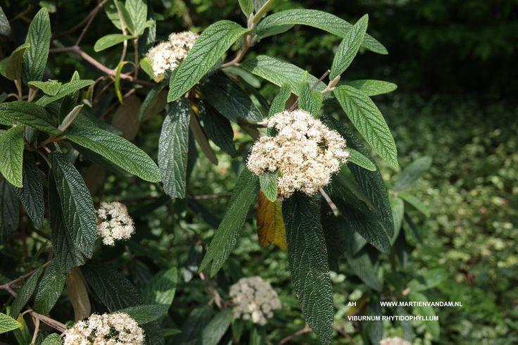 Viburnum rhytidophyllum wintergroene grove heester tot kleine boom 4 6 m laat in de winter - Witte meubels en rode ...