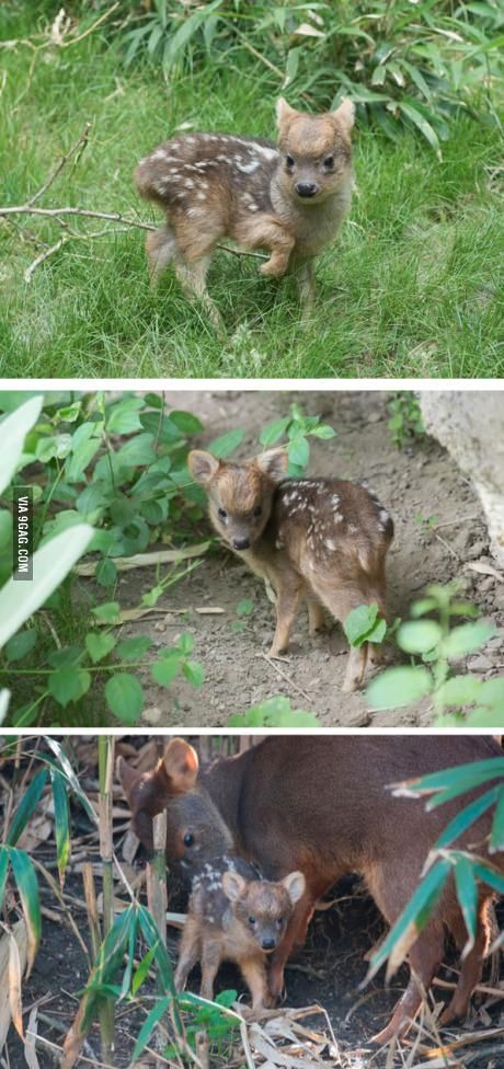 The world's smallest deer species, Pudu, that weighs only 1 pound. It's so cute!