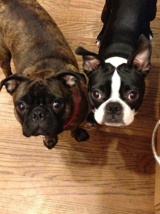 A Bugg & a Boston Terrier