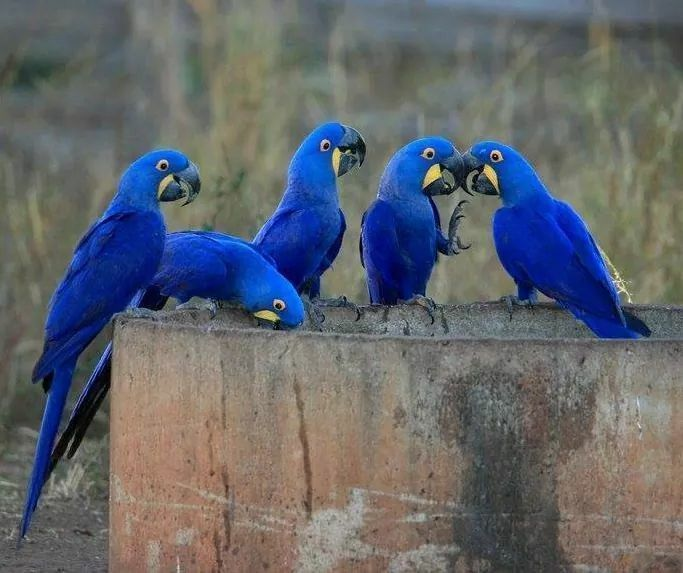 Oh mommy! Wild hyacinth macaws! I wish I could afford one.