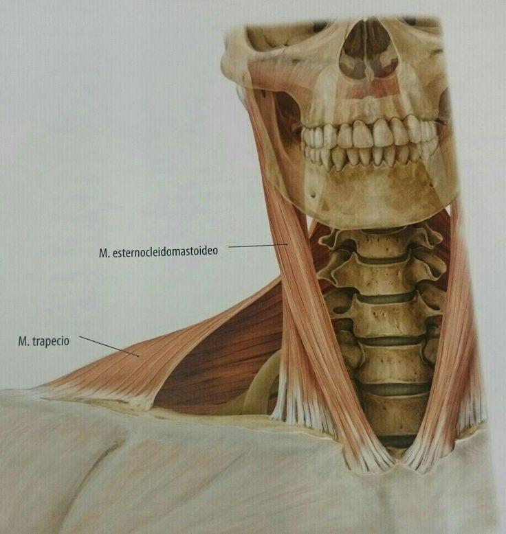 Prom. Músculos esternocleidomastoideo. Y trapecio