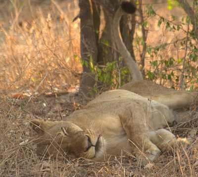 Life lessons from Gorongosa's oldest matriarch: perservere, go it alone when you have to, and play under the stars every now and again! [+ take good naps]  http://on.fb.me/RRlXNT