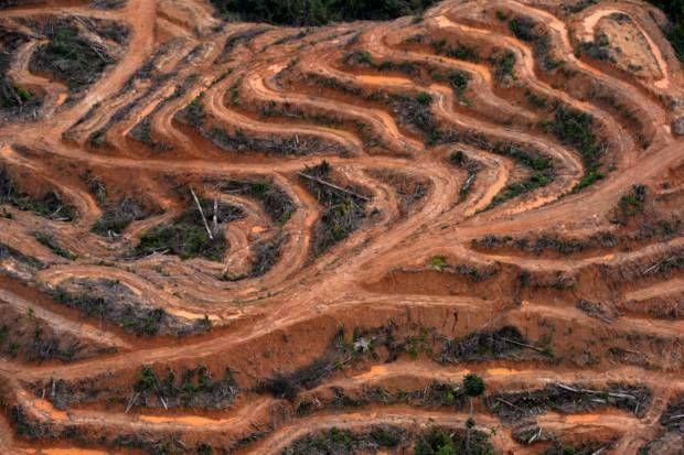 Wajah hutan Kalimantan yang sesungguhnya. Akibat perkebunan kelapa sawit.