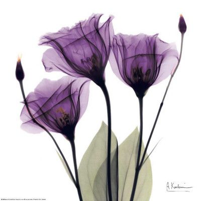 Royal Purple Gentian Trio, Albert Koetsier, Art.com  I think this is a photo-gram but can't find any info on the artist or the piece. I added a light lavender mat and medium width gold frame on Art.com and it looked awesome!