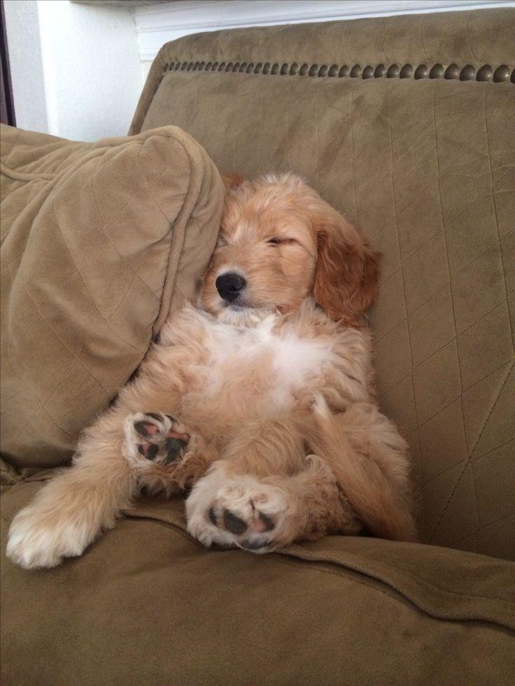 Golden doodle cutie. Takin' a little nap.