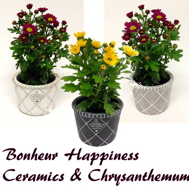 Chrysanthemum 'Swifty' flowering in ceramics pots for Mothers Day 2015 available at www.summerhillnurseries.com.au