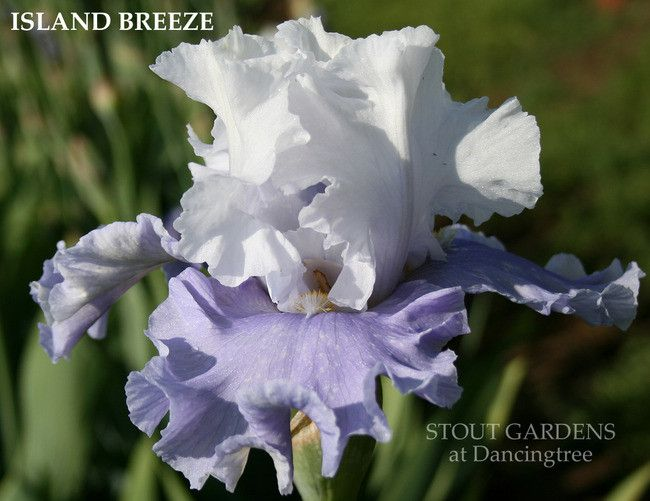 (Richard Tasco 2012) Tall bearded iris, 40 (102 cm), M. FLOWER: S. cold white, slight blue-violet blush at extreme base of midrib; F. wisteria blue; beards based white, hairs tipped cadmium orange in