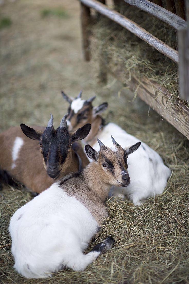 Ziegen im Streichelzoo // Petting zoo with goats
