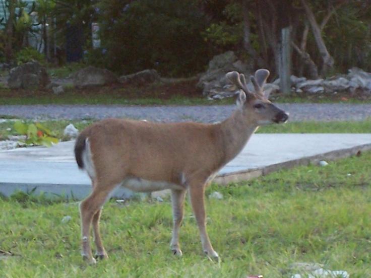 Key Deer in the Florida Keys