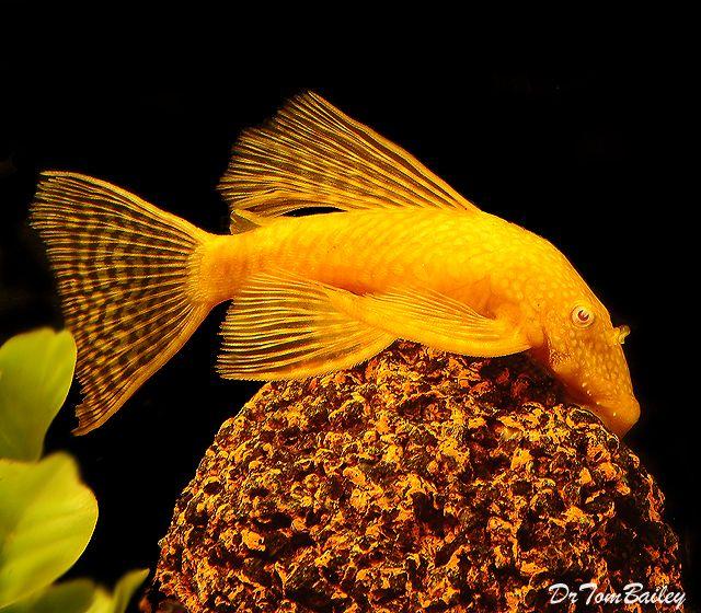 228 best freshwater fish images on pinterest fish for Best freshwater aquarium fish combination