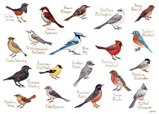 Western North Carolina Song Birds Field Guide Style Watercolor Painting Print Cardinal, Blue Jay, Robin, Bluebird, etc