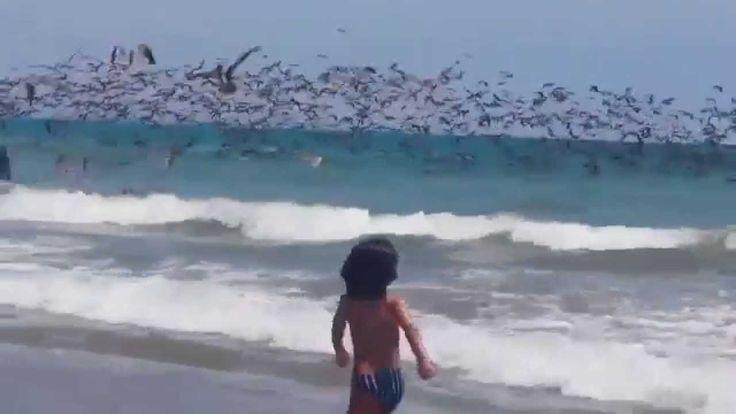 Fenomena Menakjubkan - Ribuan Burung Camar Saat Mencari Makan Di Laut
