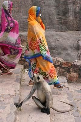 Monkey at Ranthambhore Fort, Rajasthan. By Louise Robinson of Wimbledon, London