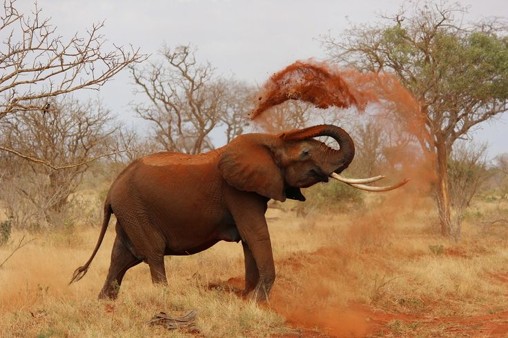 Afrikanischer Elefant, Kenia, Tsavo