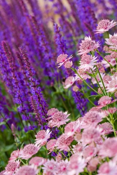 Astrantia major 'Roma' backed by Salvia nemerosa 'Caradonna'. The diagonal in the photo increases the drama. Light color in front of dark color