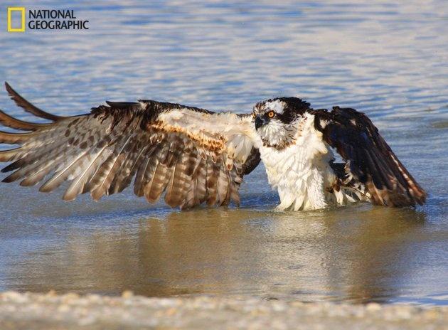 27 best bird of prey images on pinterest birds of prey for Fish hawk atlanta