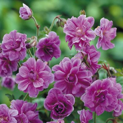 Geranium himalayense Birch Double : Luxury Double Geranium. Rose pink double flowers are produced on leafy stems from May to September. Very easy to grow and maintain. Ht.35-40cm.