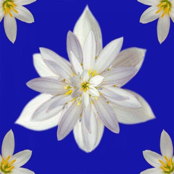 """""""Starwhite"""" - Zephyr Lily"""