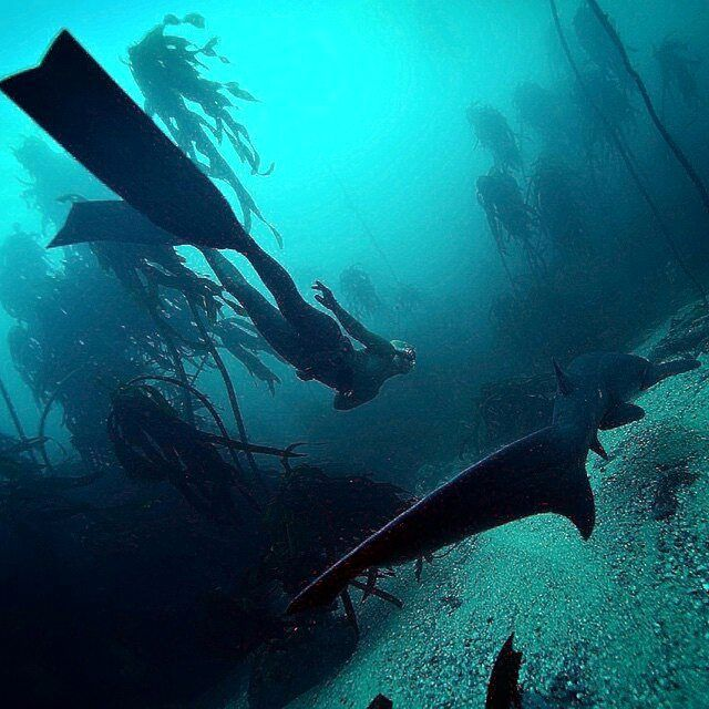 #repost from @hanliprinsloo -  Swimming with dinosaurs... Have you watched the new Jurassic film? Me neither... I have however swim with prehistoric sharks! Sevengill sharks cruise our beautiful kelp forests around False Bay, the beautiful 'other apex predator' in the bay. #photographerjeanmarieghislain #falsebay #sharks #sevengillshark #dinosaur #freediving #kelp #southafrica #365bluedays #day9ofblue #spierre