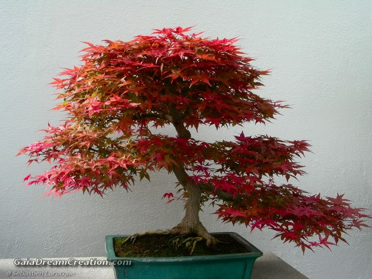 20 besten myrten bonsai bilder auf pinterest bonsai for Bonsai pflanzen