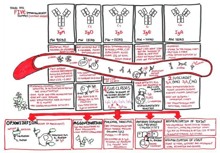 Immuno Antibody Function