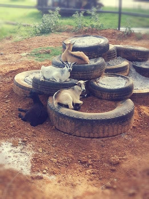 Goat playground with tires filled with cement.