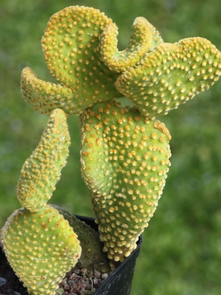 Opuntia microdasys var. pallida f. cristata is a clustering cactus with unusual twisted pads bearing bright yellow clusters of glochids...