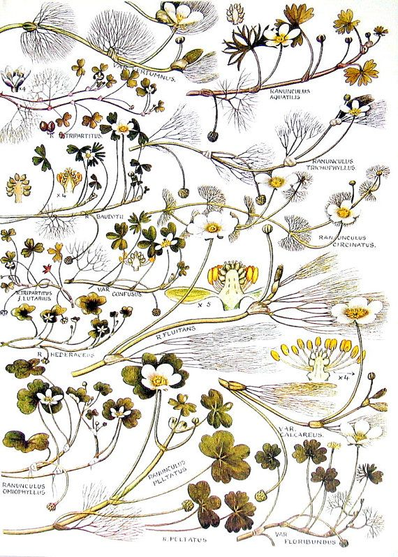 Flores silvestres británicas ranúnculo por mysunshinevintage