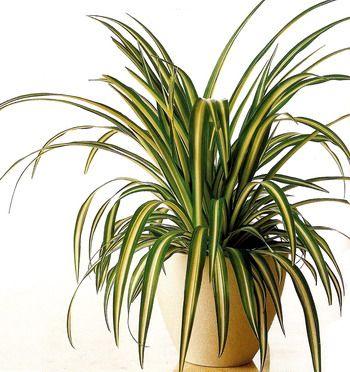 Самое полезное комнатное растение