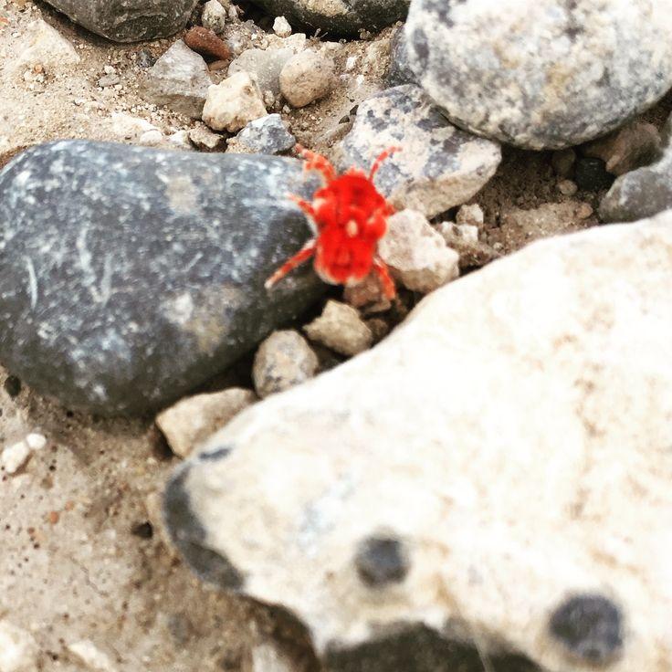 Red Velvet Mite family Thrombidiidae.