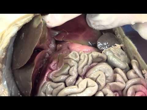 Fetal Pig Dissection Part 2 - Abdominal & Pelvic Cavity ...