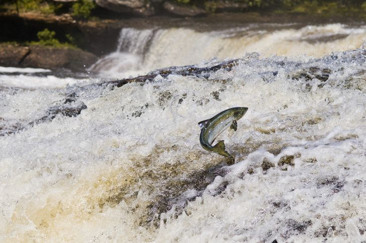 The Salmon Cannon Helps These Flying Fish Cross Dams