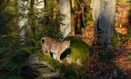 Eurasian lynx, in Bavarian forest , Germany, 2013.