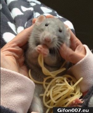 Funny Mouse, Eating Spaghetti, Video, Gif
