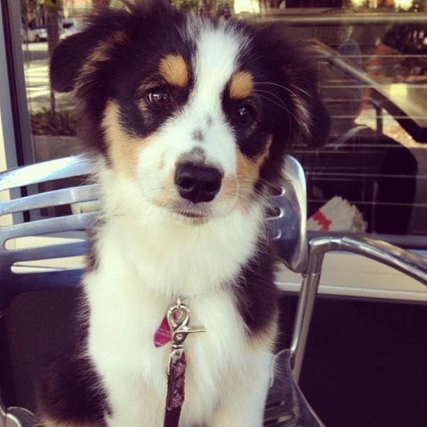 My baby, Rue!   Black Tri Australian Shepherd
