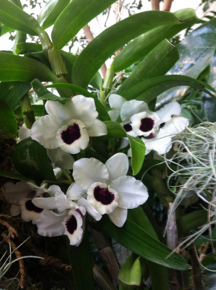 27 Best Orchids Images On Pinterest Botanical Gardens Lilies And Missouri Botanical Garden