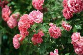 Beautiful roses on green bush