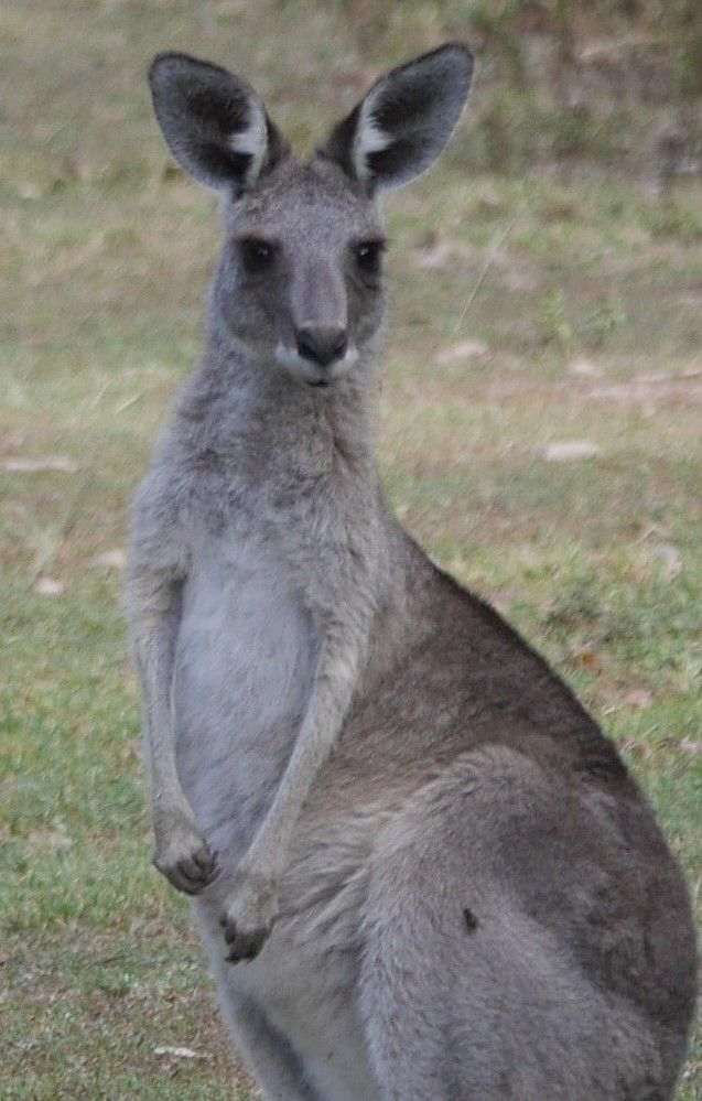 Young Eastern Grey Kangaroo